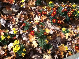 Marigolds in the leaves