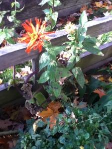 Zinnia still blooming